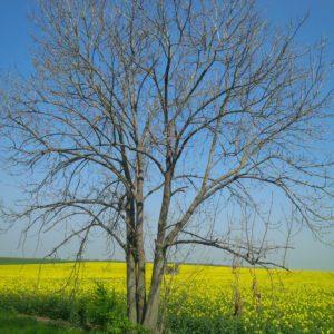 Řepkové pole suschlou okolní vegetací