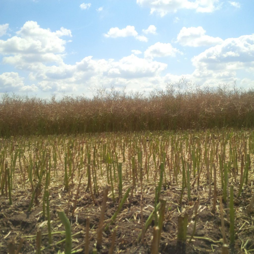 Částečně posekané řepkové pole se zbytky rostli připravenými kzaorání.