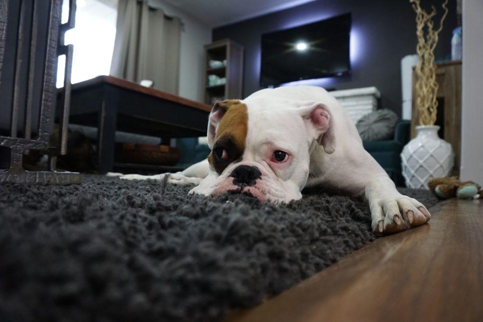pes leží na shaggy koberci